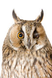Owl. Isolated on the white background Stock Photo