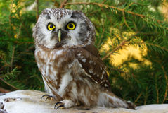 Owl. (Aegolius funereus) on a tree branch in different poses Stock Image