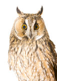 Owl. Isolated on the white background Royalty Free Stock Images