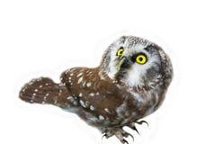 Owl. (Aegolius funereus) looking upwards on a white background Royalty Free Stock Photography