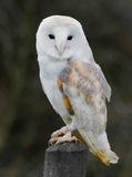 Owl. Close up of a Barn Owl Stock Photos