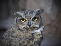 Owl. The quiet owl is staring at the camera Royalty Free Stock Image