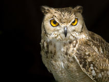The Owl Royalty Free Stock Photography