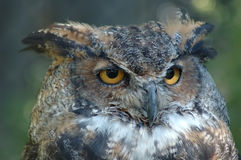 Horned Owl. Portrait of owl with out of focus background Royalty Free Stock Image