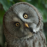 Owl. Portrait of a great grey owl Stock Photo