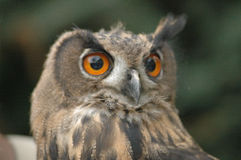 Owl. An owl's yellow eyes looking somewhere Stock Photography