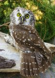 Owl. (Aegolius funereus) on a tree branch in different poses Stock Photos