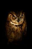 owl arkivbild