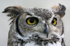 Owl. Bird with big yellow eyes Royalty Free Stock Photography