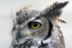 Owl. With big yellow yey Royalty Free Stock Photos