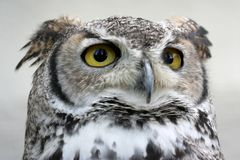 Owl. With big yellow yey Stock Images