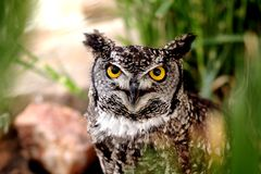 Owl. Yellow eyed owl staring right into the lens Stock Photo