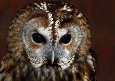 Owl. Tawny Owl Close Up Face Frontal View Stock Photography