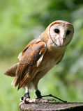 Owl. A domesticated owl stand on trunk Royalty Free Stock Images
