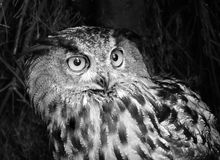 Owl. Wise owl with large eyes Royalty Free Stock Photos
