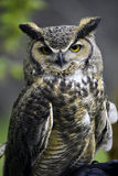 Owl. Details of a large owl perched on tree branch. Possible species: Strix varia Sometimes called Hoot Owl or Barred Owl stock images