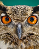 Owl. An Owl stares back with great wisdom behind it stock photography