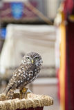The owl. Small grey owl looking attentive Royalty Free Stock Image
