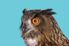 Owl 2 Royalty Free Stock Photo