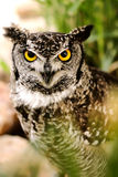 Owl 2. Yellow eyed owl staring right into the lens 2 Stock Photos