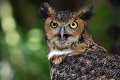 Owl. Great Horned Owl Stare Stock Photo