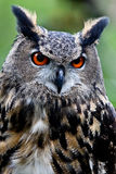Owl. Portrait with big orange eyes Royalty Free Stock Images