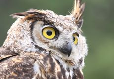 Owl. Face of owl in nature Royalty Free Stock Photos
