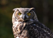 Owl. In nature during fall Royalty Free Stock Photography