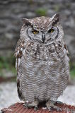 Owl. Standing on a platform Royalty Free Stock Photos