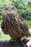 Owl. Picture of an owl who looks angry Stock Image