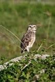 Owl. Animal theme: Owl on gravels royalty free stock photo