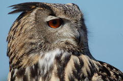 Owl. Close up of owl Bubo bubo Stock Photography