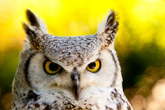 Owl. An OWL on yellow back stock image