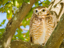 The owl. An owl resting on a tree Royalty Free Stock Photo