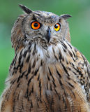 Owl Stock Photography