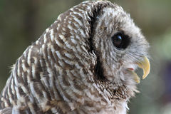 Owl. Close up photo of an owl royalty free stock images