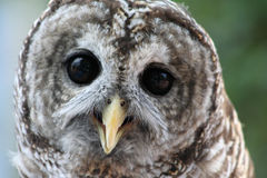 Owl. Close up photo of an owl stock image
