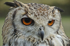 Owl. With orange eyes in the foreground royalty free stock images