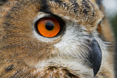 Owl. A close up of a head of eurasian Eagle Owl (Bubo Bubo Stock Image
