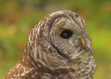 Owl. Not sure of the name sorry Royalty Free Stock Images