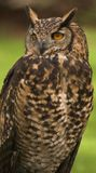 Owl. Long eared owl lincolnshire countryside Stock Photo