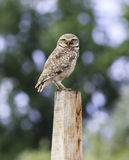 Owl Stock Photos