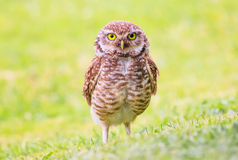 Owl. A big owl standing on the ground Stock Image