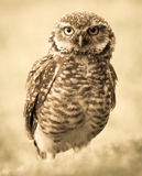 Owl. A big owl standing on the ground Royalty Free Stock Image