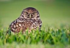 Owl. Closeup shot of an owl Royalty Free Stock Photo