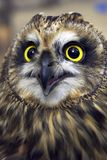 Owl. Close-up Stock Photography