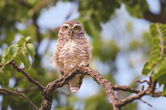 Owl. On top of a tree branch looking at the photographer Stock Image