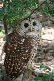 Owl. Barred Owl Stock Photography