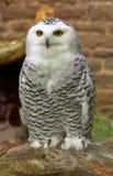 Owl. Snowy Owl stock image