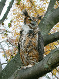 Owl. Great Horned owl Royalty Free Stock Images